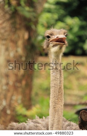 ostrich looking into the distance.
