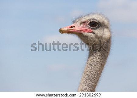 Ostrich looks at the camera