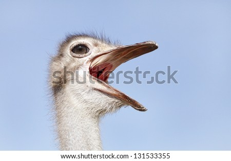 Ostrich making rumbling sound - stock photo