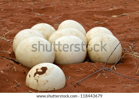 Ostrich nest in Namibia - stock photo