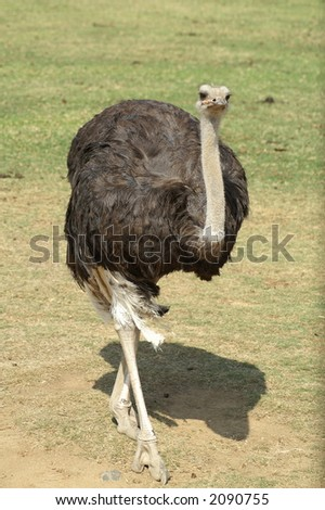 Ostrich on a stroll - stock photo
