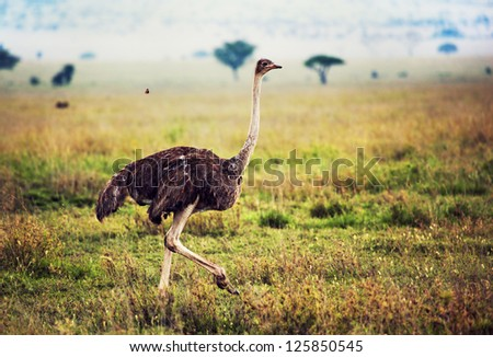 Ostrich on savanna in Africa. Safari in Serengeti, Tanzania