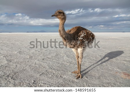 Ostrich on the salt lake of Uyuni, Bolivia - stock photo