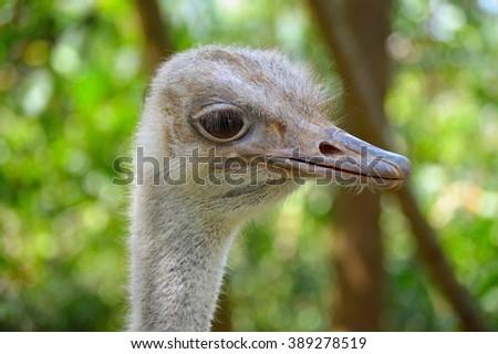 Ostrich Portrait 2 - stock photo