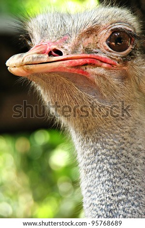 Ostrich Portrait - stock photo