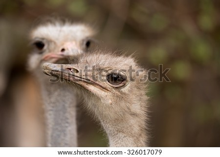 Ostrich, Struthio camelus in Kalahari, South Africa, true wildlife photography