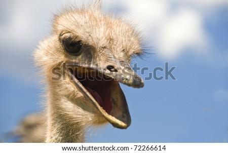 Ostrich talking - stock photo
