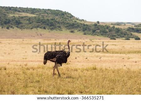 Ostrich walking on the savannah in Masai Mara National Park - stock photo