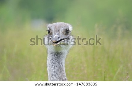 Ostrich watching closely  - stock photo