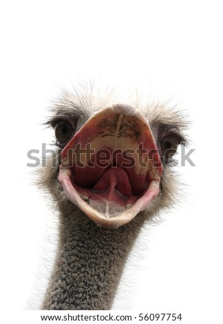 ostrich with open beak - stock photo