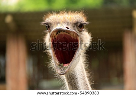 Ostrich with opened mouth. Shock, delight, wonder