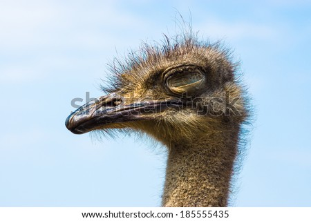 ostrich young long neck sleep eyes with strong beak and gray feathers - stock photo