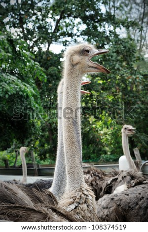 Ostriches farm in Johor, Malaysia - stock photo