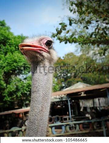 Ostriches farm in Malaysia - stock photo