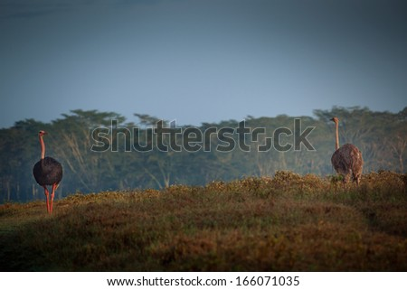 ostriches in the forest - stock photo