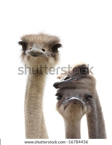 ostriches isolated - stock photo