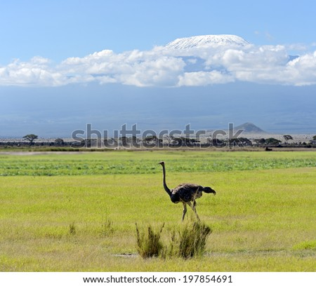 Ostriches Kilimanjaro in Amboseli National Park, Kenya - stock photo