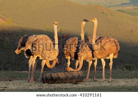 Ostriches on an ostrich farm, Karoo region, Western Cape, South Africa - stock photo