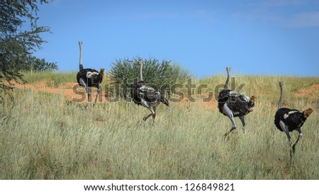 Ostriches running uphill in the desert - stock photo