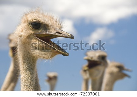 Ostriches talking - stock photo