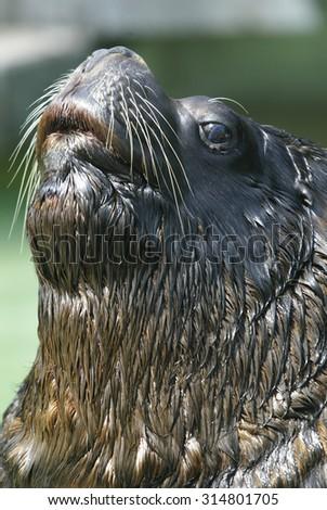 otaria byronica, Suedamerikanischer Seeloewe, Otaria flavesceus, South american Sea Lion, Southern Sea Lion - stock photo