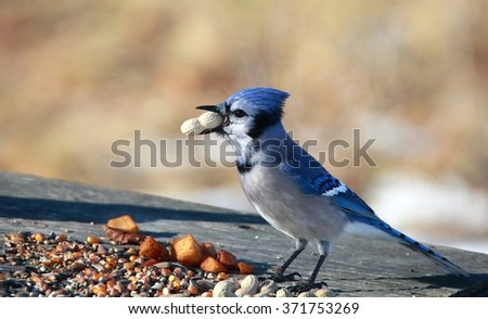 OTTAWA, CANADA - FEB. 2, 2016: A Blue Jay with a peanut at a feeder in woods near the Ottawa River.  - stock photo