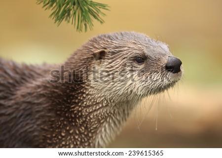 otter close up - stock photo