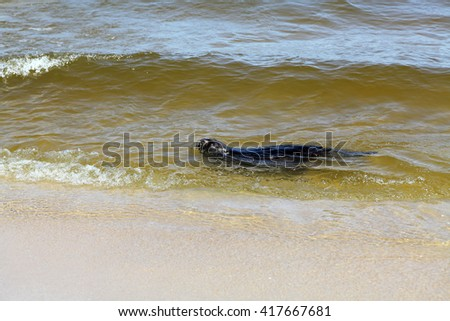 Otter floating in Baltick sea  - stock photo