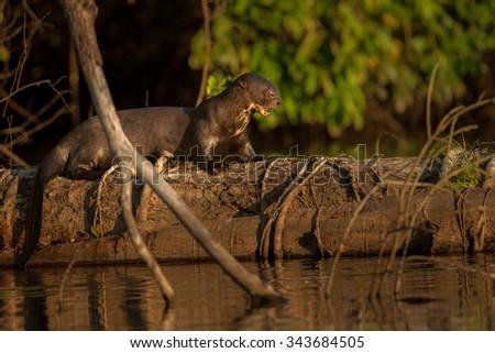 Otter/giant otter/peru - stock photo