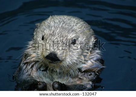 Otter in Lisbon Oceanarium - stock photo