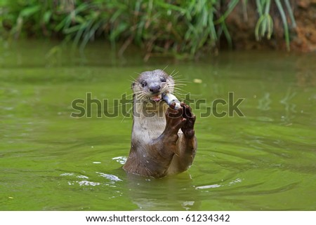 Otter in the water, eating fish - stock photo