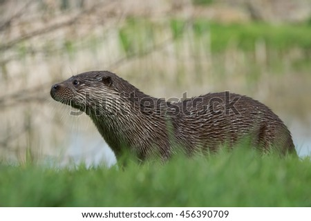 Otter in thick green grass at the edge of a lake/Otter/European Otter (Lutra Lutra)