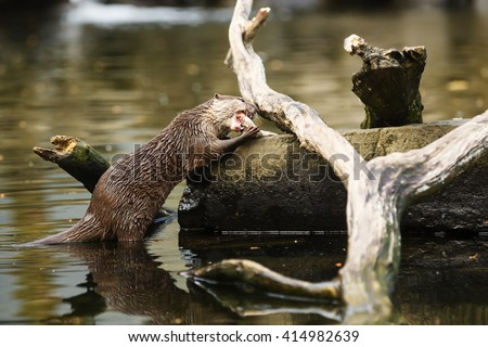 otter is eating fish