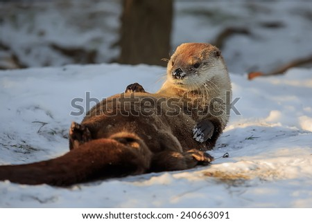 otter is indulging - stock photo