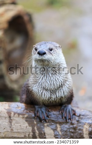 otter is posing - stock photo