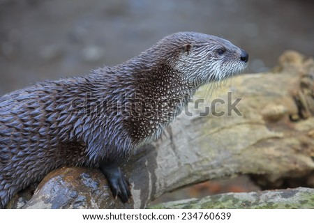 otter is resting - stock photo