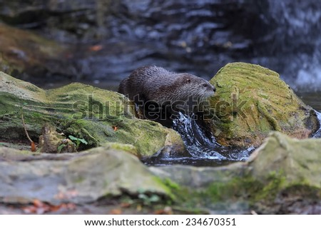 otter is sliding along the bank of the creek - stock photo