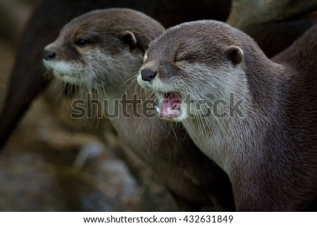 Otter (Lutra Lutra) and her cuteness and sample mouth