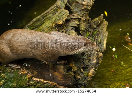 Otter on a log, hunting - stock photo