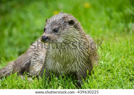 Otter on riverbank in lush green grass of Summer - stock photo