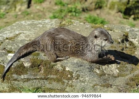 Otter on Rock - stock photo
