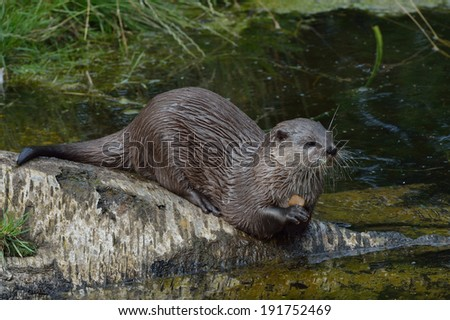 Otter ( short clawed) - stock photo