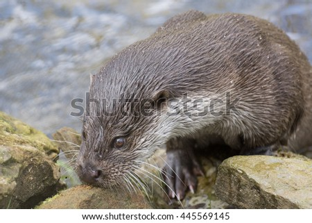 Otter sniffing