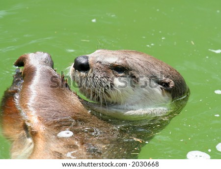 otter swimming - stock photo