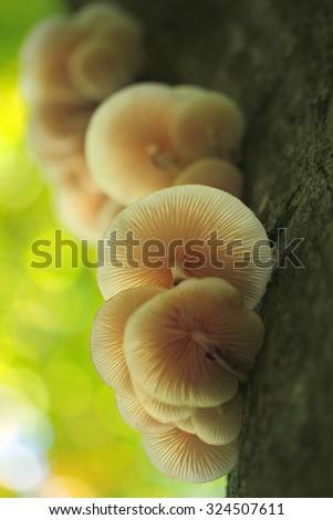 oudemansiella mucida mushroom  - stock photo
