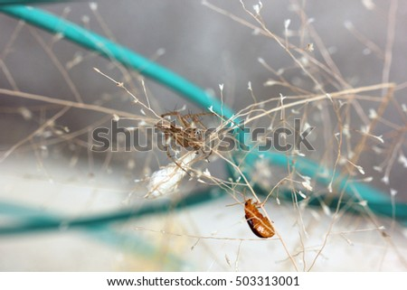 oulema melanopu and male lynx spider