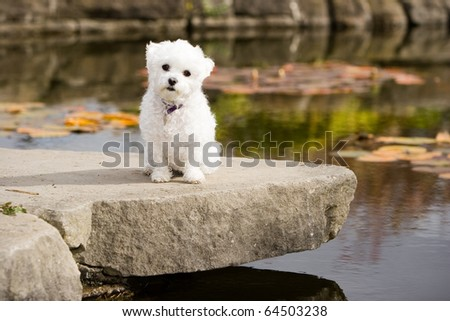 Our Bichon Maltese mix posing for a calendar shot in the park. - stock photo