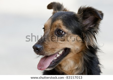 Our cute little Chloe is a crossbreed between a long-haired chihuahua and a papillion.