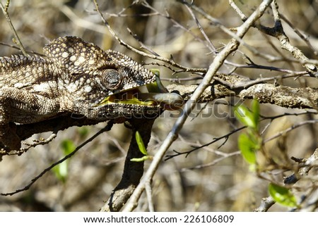 Oustalet's Chameleon (Furcifer Oustaleti) - Rare Madagascar Endemic Reptile - stock photo