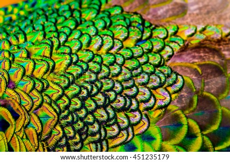Out-focus of peacock feathers is colorful for use background ,texture and wallpaper. - stock photo